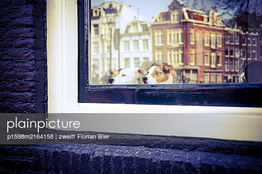 Two dogs looking out of window - p1598m2164158 by zweiff Florian Bier
