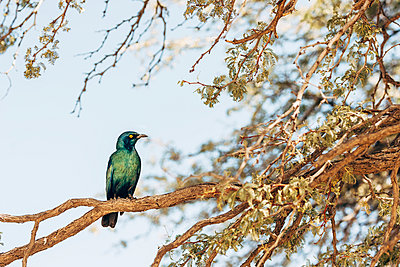Glossy starling - p1065m982588 by KNSY Bande