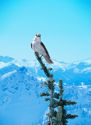 White Bird Atop Fir Tree with Mountains and Blue Sky - p1617m2264079 by Barb McKinney