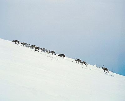 Reindeers - p3223855 by matti kolho