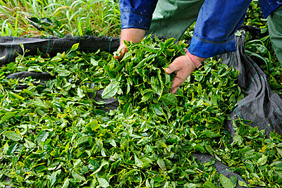 Verifying the quality of the tea leaves at Gorreana tea plantations. Sao Miguel, Azores islands, Portugal - p6511707 by Mauricio Abreu photography