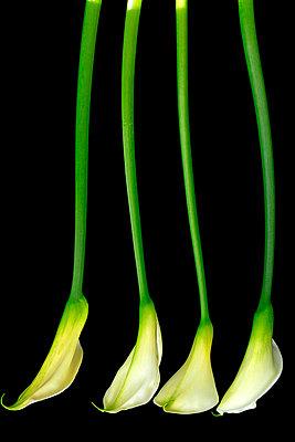 Calla lily  IX - p977m1003315 by Sandrine Pic