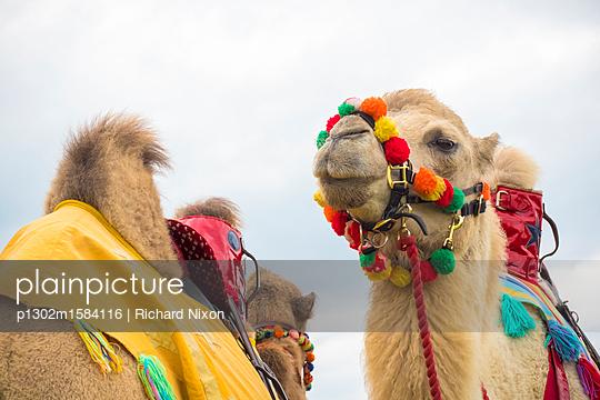 Zwei Kamele mit Sattel - p1302m1584116 von Richard Nixon