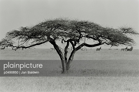 Lone umbrella thorn or acacia tortillis in the grasslands of the Makgadikgadi Pans in Botswana with a herd of grazing zebra in the distance - p3490850 by Jan Baldwin