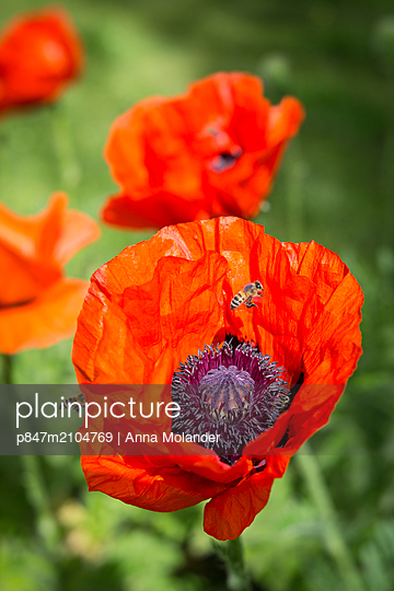 Close-up Of Bees Pollinating On Red Poppy Flowers, Sweden    - p847m2104769 by Anna Molander