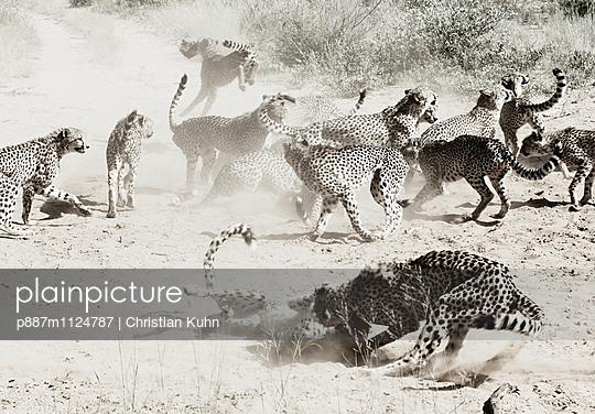 Geparden - p887m1124787 von Christian Kuhn