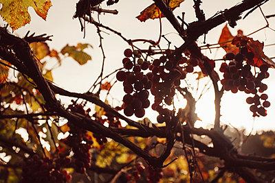 Weinreben - p1085m987664 von David Carreno Hansen