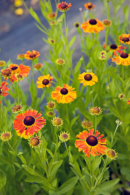 Helenium flowers, close-up - p575m805161f by Lina Karna Kippel