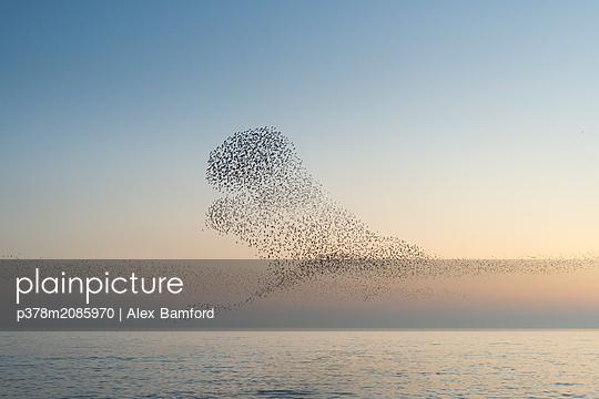 Murmuration   - p378m2085970 by Alex Bamford