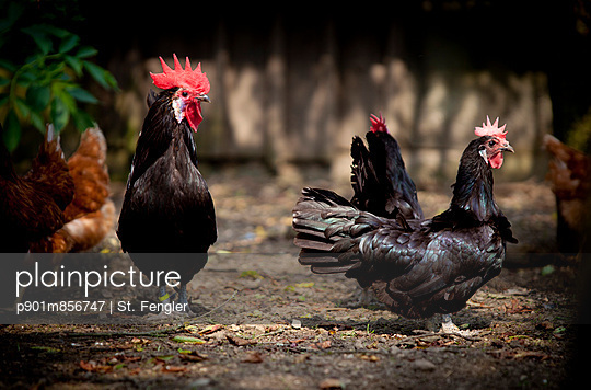Cock and hens - p901m856747 by St. Fengler