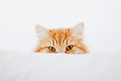 Portrait of ginger cat hiding behind cushion - p301m1406476 by Isabella Ståhl