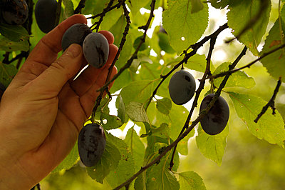 Picking plums - p470m886212 by Ingrid Michel