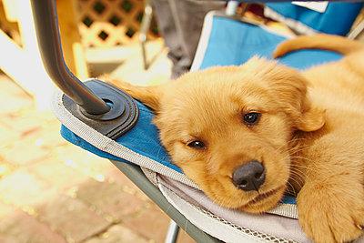Labrador puppy resting on hammock - p924m947162f by Kevin Kozicki