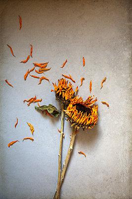Verwelkte Sonnenblumen mit Blütenblättern - p1248m2297933 von miguel sobreira