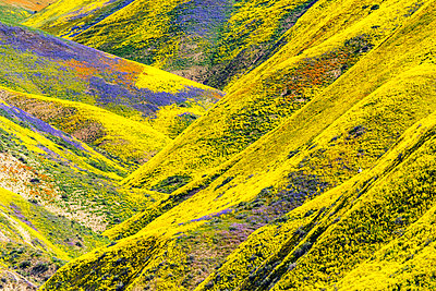 Super Bloom of Wildflwowers, Carrizo Plain National Monument, California, USA - p651m2032550 by Tom Mackie