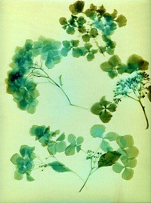 Dried wild plants - p945m2163790 by aurelia frey