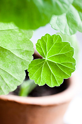 Geranium leaves - p312m799105f by Ellinor Hall