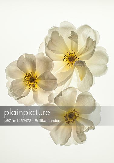 Three roses - p971m1452472 by Reilika Landen