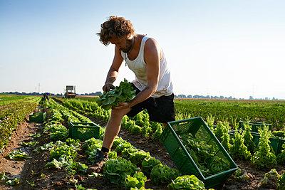 Biolandwirtschaft, Salat - p1203m1025900 von Bernd Schumacher