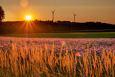 Germany, flowering scorpionweed in summer, wind park at sunset - p300m2041974 by Hans Mitterer