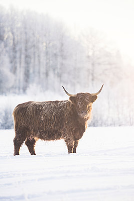 Bull in snow in Jarfalla, Sweden - p352m1536601 by Calle Artmark