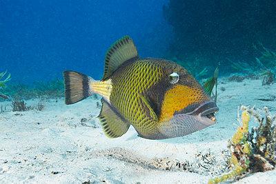 Titan Triggerfish - p4298032 by Zac Macaulay