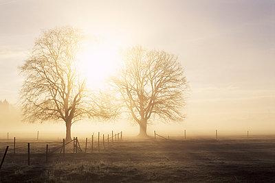 Backlit trees and morning fog, Lechrain, Landsberg, Germany, Europe - p871m1073447f by Jochen Schlenker