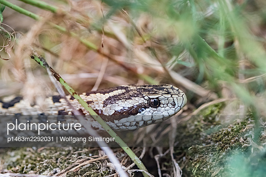 Field viper, Vipera ursinii - p1463m2292031 by Wolfgang Simlinger