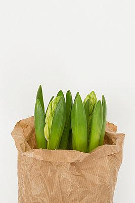 Hyacinth - p1149m952401 by Yvonne Röder