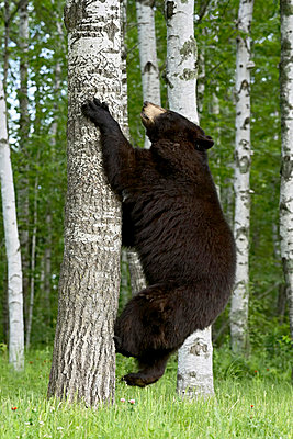 Black bear (Ursus americanus) climbing white birch, in captivity, Sandstone, Minnesota, United States of America, North America - p8712466 by James Hager