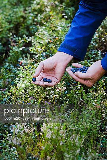 Man harvesting fresh, ripe blueberries - p301m2075994 by berkpixels
