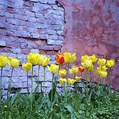 Tulips - p1063m1057369 by Ekaterina Vasilyeva