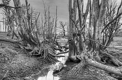 Skeleton Trees on Marshland - p1562m2288026 by chinch gryniewicz