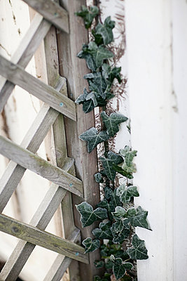 Ivy on wooden fence - p312m996629f by Eveline Johnsson