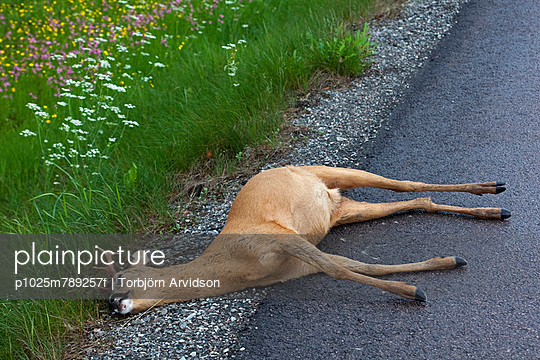 Close-up of a dead dear by flowers on the asphalt country road - p1025m789257f by Torbjörn Arvidson