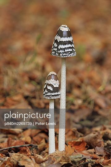 Magpie inkcap (Coprinus picaceus)  fungus, Wimborne, Dorset, England, UK, October. - p840m2269739 by Peter Lewis