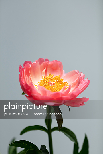 Peony flower in front of gray background - p919m2193273 by Beowulf Sheehan