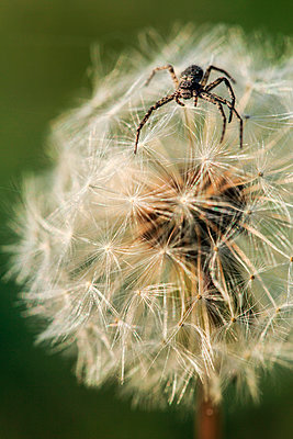 Spider within the seed head of a dandelion - p1026m923486f by Romulic-Stojcic