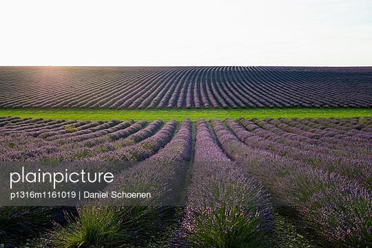 Lavendelfeld, bei Valensole, Plateau de Valensole, Alpes-de-Haute-Provence, Provence, Frankreich - p1316m1161019 von Daniel Schoenen