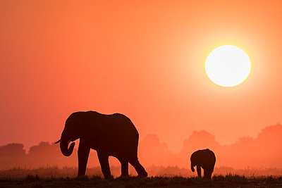 African elephants (Loxodonta africana) at sunset, Chobe National Park, Botswana, Africa - p871m2149857 by Ann and Steve Toon