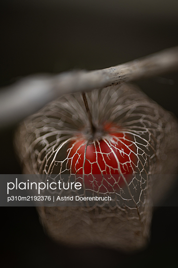 Chinese lantern plant in autumn - p310m2192376 by Astrid Doerenbruch