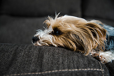 Yorkshire Terrier resting on the couch with hair that sticks up. - p1166m2107768 by Cavan Images