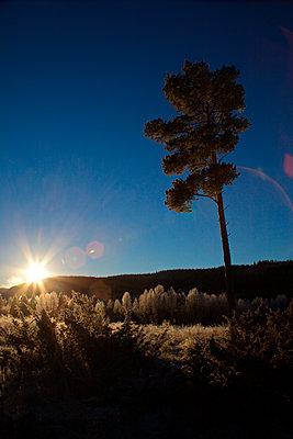 Raureifbedeckte Kiefer bei Sonnenaufgang - p235m1116479 von KuS