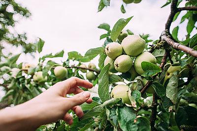 Reife Äpfel pflücken - p586m1068224 von Kniel Synnatzschke