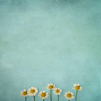 Daisy - p1228m1162598 by Benjamin Harte