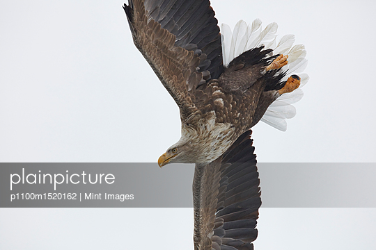 White-Tailed Eagle, Haliaeetus albicilla, mid-air, winter. - p1100m1520162 by Mint Images