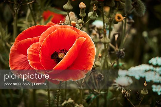 Poppy flower, close-up - p851m2205827 by Lohfink