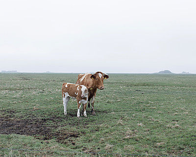 Kuh und Kalb - p1085m876971 von David Carreno Hansen
