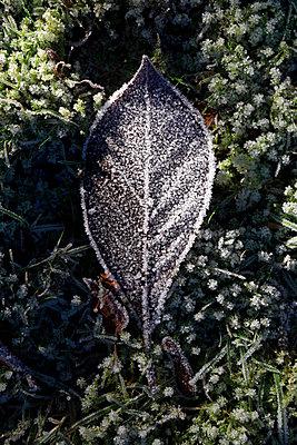Eiskristalle auf einem Laubblatt - p1221m1425987 von Frank Lothar Lange