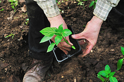Man de-potting plant in soil - p42916169f by Daniela Buoncristiani